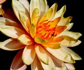 pic of corbel  - Colorful lilies in a pond to a large audience - JPG