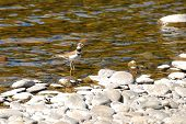 picture of killdeer  - Killdeer Charadrius vociferus in the Plover Family in the Umpqua River near Roseburg Oregon - JPG