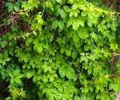stock photo of creeper  - The wall is completely hidden overgrown with vines of Virginia creeper - JPG