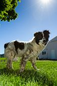 foto of cattle dog  - australian cattle dog at the farm ron a bright blue sunny day - JPG