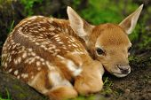 picture of bambi  - Just born cute young fallow deer lying on the grass - JPG