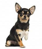image of obey  - Chihuahua lifting a paw - JPG