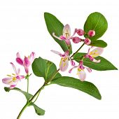 picture of honeysuckle  - Pink honeysuckle in blossom  - JPG