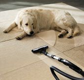 foto of laughable  - the dog lies on the beige carpet and looks at vacuum cleaner - JPG