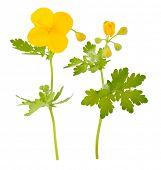 pic of celandine  - Medicinal plant - JPG