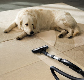 picture of laughable  - the dog lies on the beige carpet and looks at vacuum cleaner - JPG