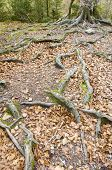 image of centenarian  - tree with big roots in Ordesa National Park - JPG