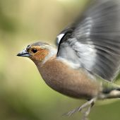 An adult male Chaffinch (Fringilla coelebs) hovering.
