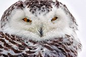 foto of snowy owl  - Snowy Owl from Muskegon michigan cold and snowing - JPG