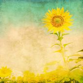 image of sunflower  - Sunflower in the field in grunge and retro style - JPG