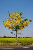pic of cassia  - yellow cassia flower tree blooming in summer on drought - JPG