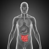 stock photo of small-intestine  - The small intestine is the part of the gastrointestinal tract following the stomach and followed by the large intestine - JPG