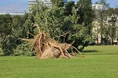 picture of wind blown  - Fallen tree blown over by heavy winds at the park - JPG