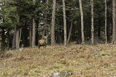 stock photo of harem  - A large wapiti stands in a forest