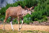 image of greater  - Female greater kudu  - JPG