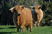 picture of highland-cattle  - Scottish Highlander cattle West Coast New Zealand