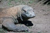 picture of komodo dragon  - komodo dragon Varanus komodoensis from Indonesia - JPG