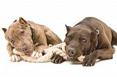 picture of teething baby  - Two pit bull lying together gnaw rope - JPG