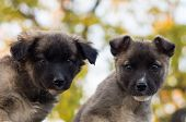 stock photo of fluffy puppy  - two fluffy puppies sitting together and watching carefully  - JPG