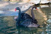 image of black swan  - Swimming  black swans in the lake water - JPG