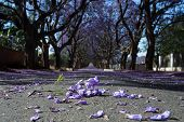 stock photo of tree lined street  - Suburban road with line of jacaranda trees and small branch with flowers on