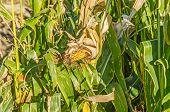picture of corn stalk  - Ear of field corn aging on the stalk in fall  - JPG