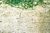 picture of ivy  - Weathered garden wall framed by ivy with copy space - JPG