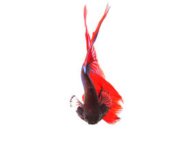 image of fighter-fish  - close up of beautiful red tail thai siamese fighting fish betta isolated white background - JPG