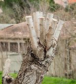 image of prunes  - Close up of Pruned Tree detail of the pruning of the branches - JPG