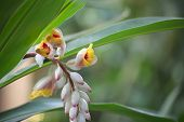 picture of century plant  - Blossoms of the medicinal and spice plant ginger  - JPG