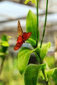 picture of mating animal  - Two orange butterflies mating in Phuket Butterfly Garden Thailand - JPG