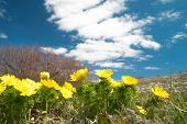 picture of adonis  - Yellow flowers  - JPG