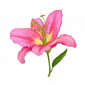 stock photo of day-lilies  - lily vector illustration  hand drawn  painted watercolor - JPG
