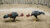 picture of arena  -  Two roosters ready to fight in arena - JPG