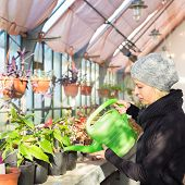 picture of greenhouse  - Portrait of florists woman working with flowers in a greenhouse holding a watering can in her hand - JPG