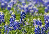 image of bluebonnets  - Selective Focus on single Texas Bluebonnet  - JPG