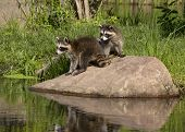 stock photo of raccoon  - Curious little raccoons standing on a river rock - JPG