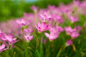 image of lily  - Pink Zephyranthes Lily Rain Lily Fairy Lily Little Witches in the garden