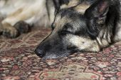 picture of shepherd dog  - Portrait of a shepherd dog sleeping on the rug indoor horizontal shot - JPG