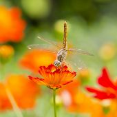 stock photo of dragonflies  - Dragonfly on orange flower with orange flowers background - JPG