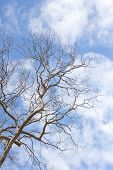 stock photo of dead-line  - Dead tree without leaves on sky background - JPG
