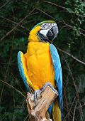 picture of parrots  - Blue and Gold Macaw - JPG