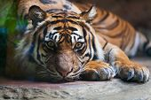 pic of zoo  - Tiger portrait of a bengal tiger at zoo - JPG