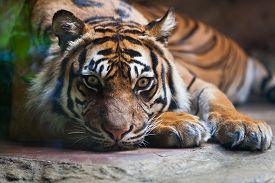 stock photo of tiger eye  - Tiger portrait of a bengal tiger at zoo - JPG