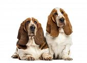 stock photo of basset hound  - Two Basset Hounds in front of a white background - JPG