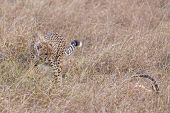 image of killing  - Adult cheetah feasting on impala kill Masai Mara National Reserve Kenya East Africa - JPG