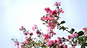 pic of crepe myrtle  - Pink colored crepe myrtle blooms in morning light - JPG
