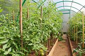 image of greenhouse  - The photo of fresh tomatoes in greenhouse - JPG