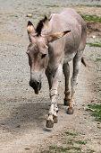 picture of wild donkey  - Somali wild ass  - JPG