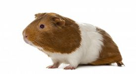 picture of pig  - Guinea pig in front of a white background - JPG
